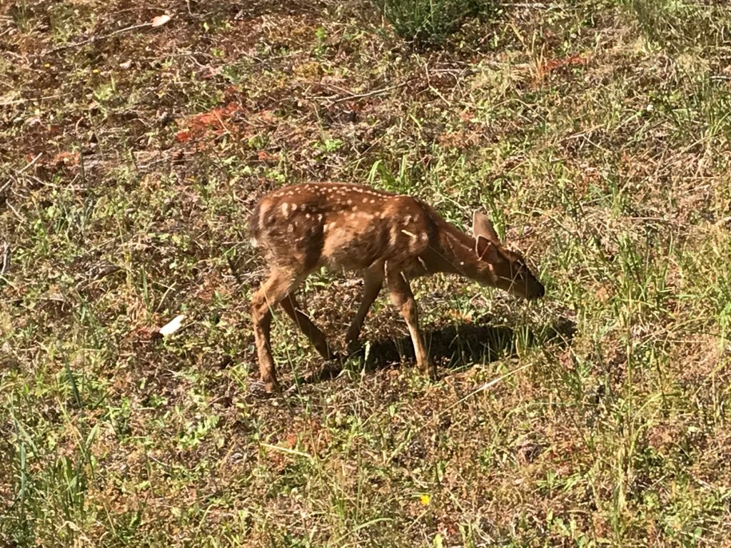 black-tailed deer fawn grazing at Channel Ridge on Salt Spring Island