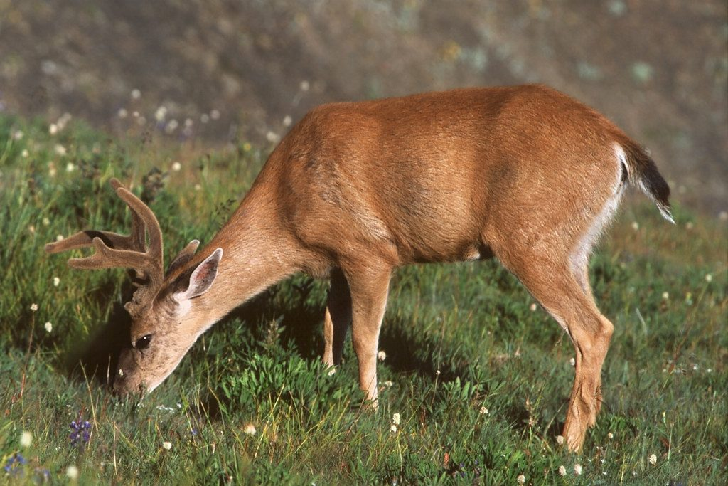 male black-tailed deer grazing